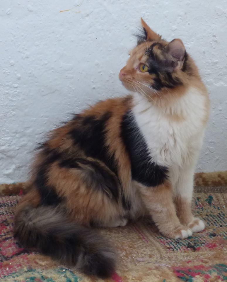 CARMEN - chat femelle, née environ septembre 2016 - PASCANI - adoptée par Sarah et Kevin (depart 57) Ca10