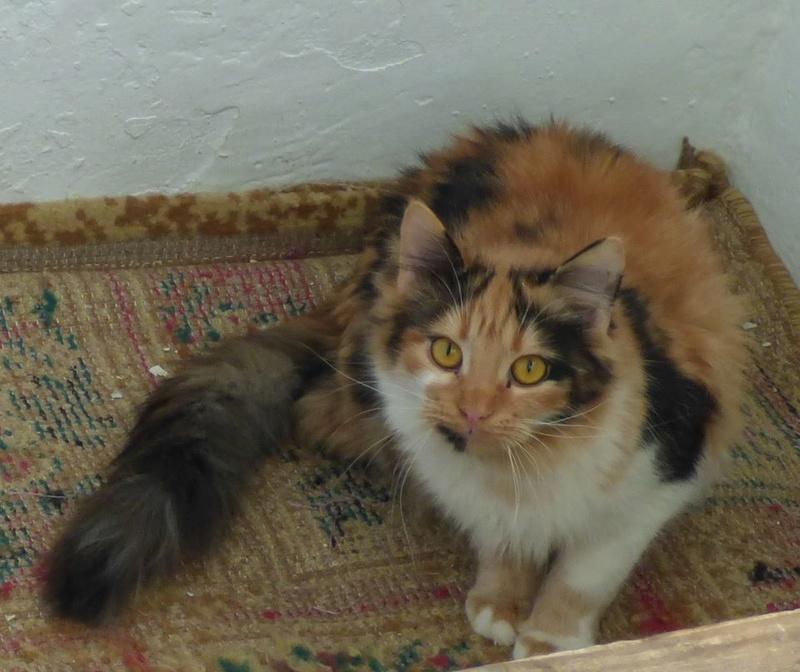 CARMEN - chat femelle, née environ septembre 2016 - PASCANI - adoptée par Sarah et Kevin (depart 57) Car10