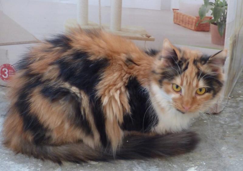 CARMEN - chat femelle, née environ septembre 2016 - PASCANI - adoptée par Sarah et Kevin (depart 57) Carm10