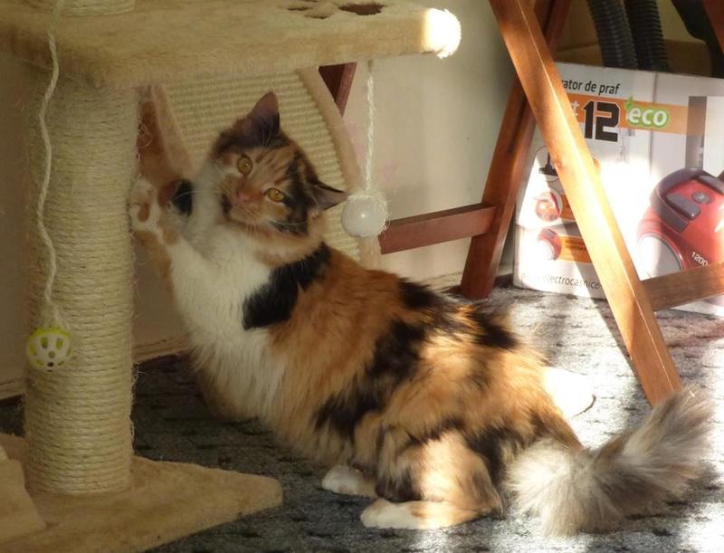 CARMEN - chat femelle, née environ septembre 2016 - PASCANI - adoptée par Sarah et Kevin (depart 57) Carmen10