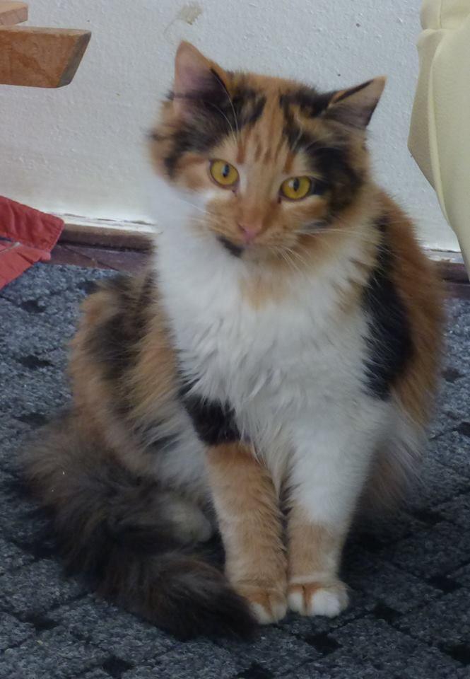 CARMEN - chat femelle, née environ septembre 2016 - PASCANI - adoptée par Sarah et Kevin (depart 57) Cc10