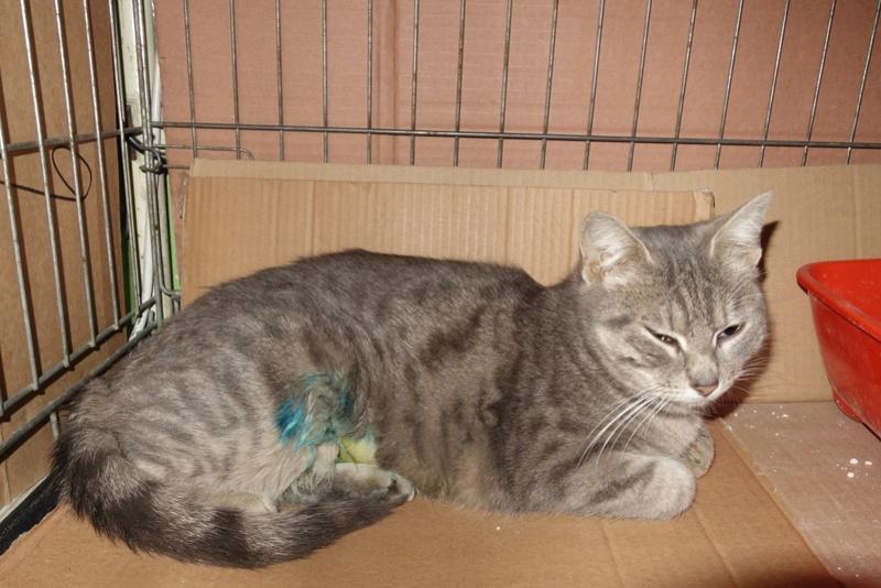 TIGRETTE - chat femelle, née début 2016 - CARMINA BUCAREST. Adoptée via une autre asso Dsc05311