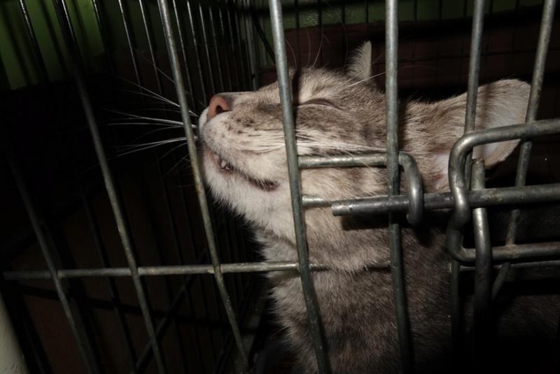 TIGRETTE - chat femelle, née début 2016 - CARMINA BUCAREST. Adoptée via une autre asso Dsc06510