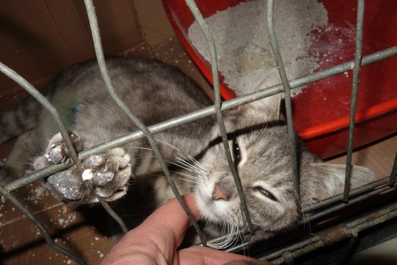 TIGRETTE - chat femelle, née début 2016 - CARMINA BUCAREST. Adoptée via une autre asso Dsc06511