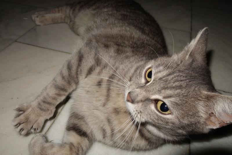 TIGRETTE - chat femelle, née début 2016 - CARMINA BUCAREST. Adoptée via une autre asso Dsc07310