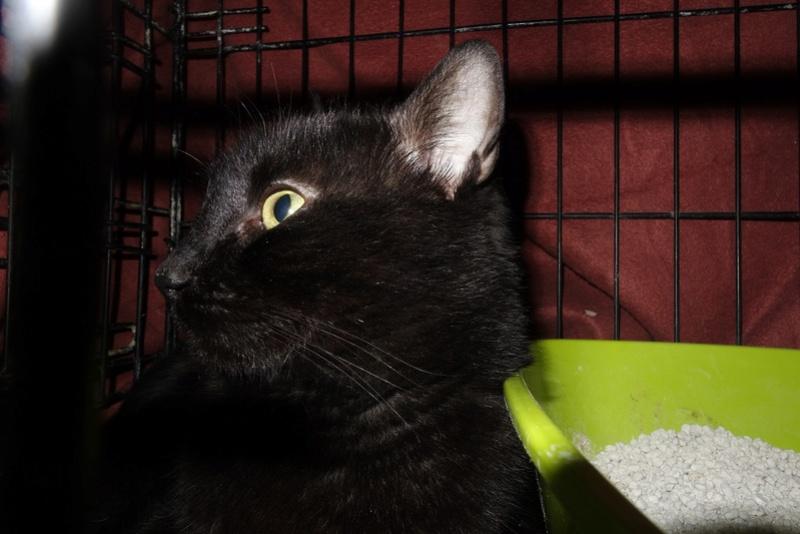 BENJY - chat mâle, né début 2016 - CARMINA BUCAREST. Réservé adoption via une autre asso Dsc07510