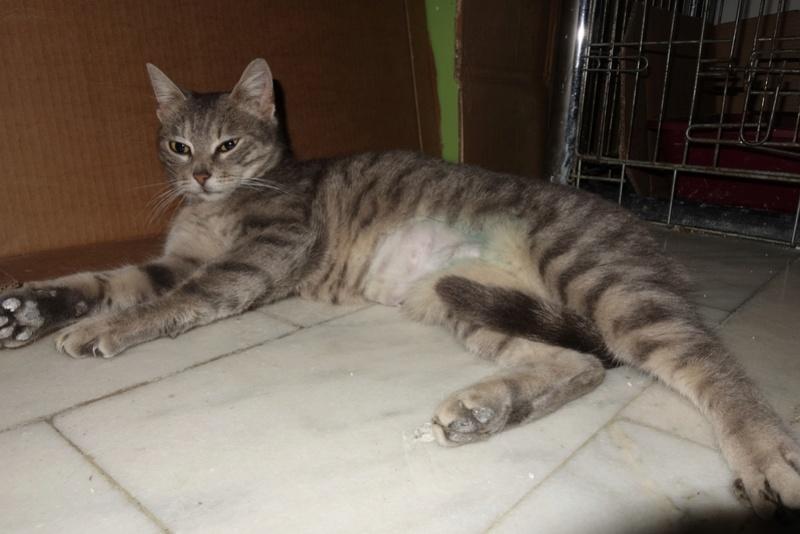 TIGRETTE - chat femelle, née début 2016 - CARMINA BUCAREST. Adoptée via une autre asso Dsc07710