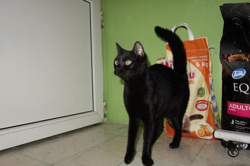 SERENA (Gato Nero) - chat femelle née en juin 2016 - CARMINA BUCAREST.  Réservée adoption via une autre asso Seree10