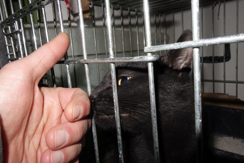 SERENA (Gato Nero) - chat femelle née en juin 2016 - CARMINA BUCAREST.  Réservée adoption via une autre asso Seren10
