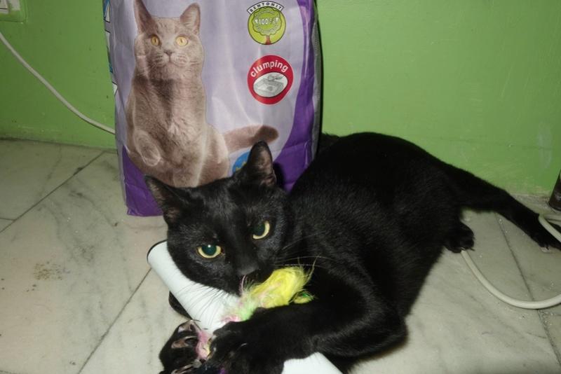 SERENA (Gato Nero) - chat femelle née en juin 2016 - CARMINA BUCAREST.  Réservée adoption via une autre asso Serena11