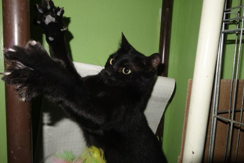 SERENA (Gato Nero) - chat femelle née en juin 2016 - CARMINA BUCAREST.  Réservée adoption via une autre asso Serena12