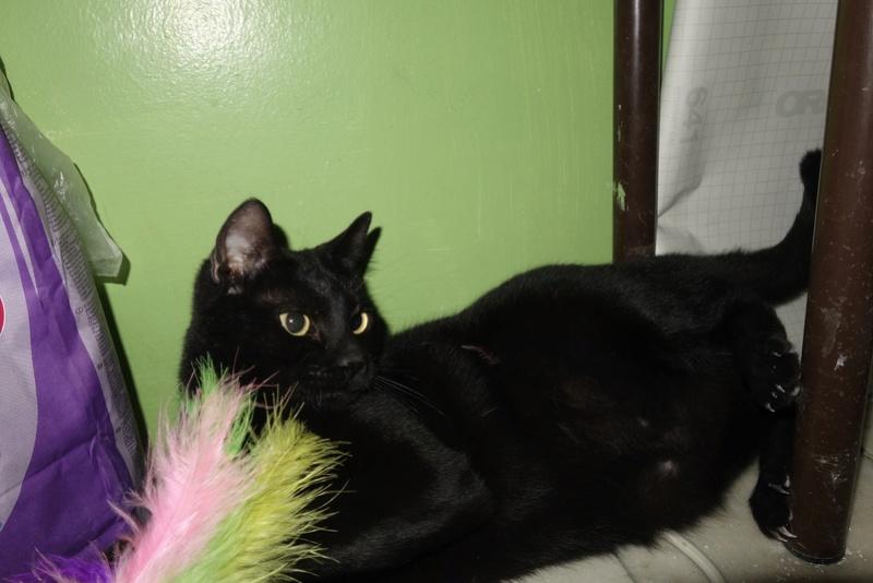 SERENA (Gato Nero) - chat femelle née en juin 2016 - CARMINA BUCAREST.  Réservée adoption via une autre asso Serena14
