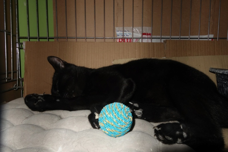 SERENA (Gato Nero) - chat femelle née en juin 2016 - CARMINA BUCAREST.  Réservée adoption via une autre asso Serena15
