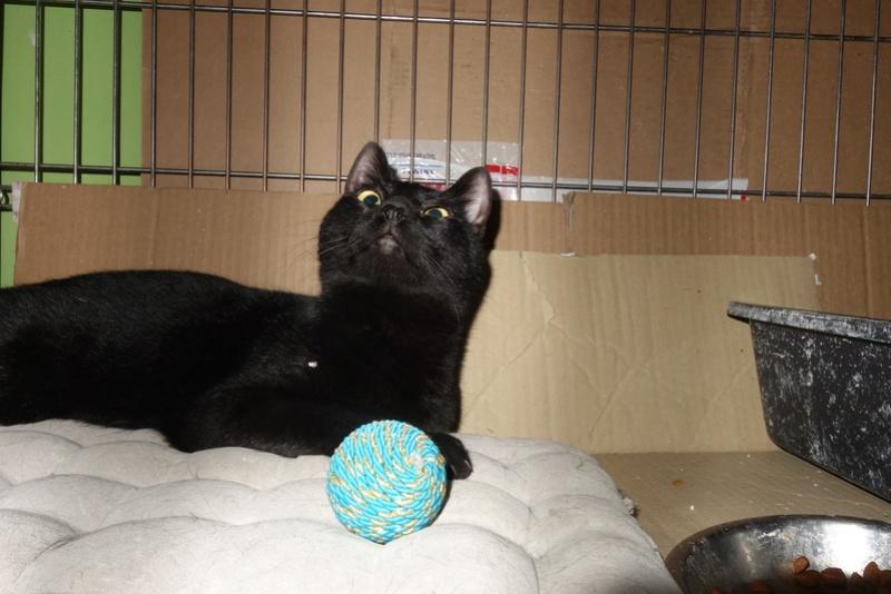 SERENA (Gato Nero) - chat femelle née en juin 2016 - CARMINA BUCAREST.  Réservée adoption via une autre asso Serena16