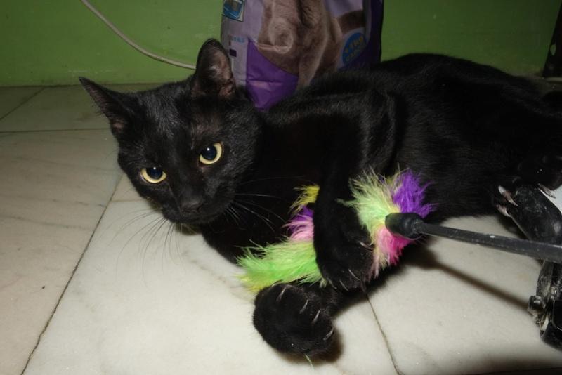 SERENA (Gato Nero) - chat femelle née en juin 2016 - CARMINA BUCAREST.  Réservée adoption via une autre asso Serena17
