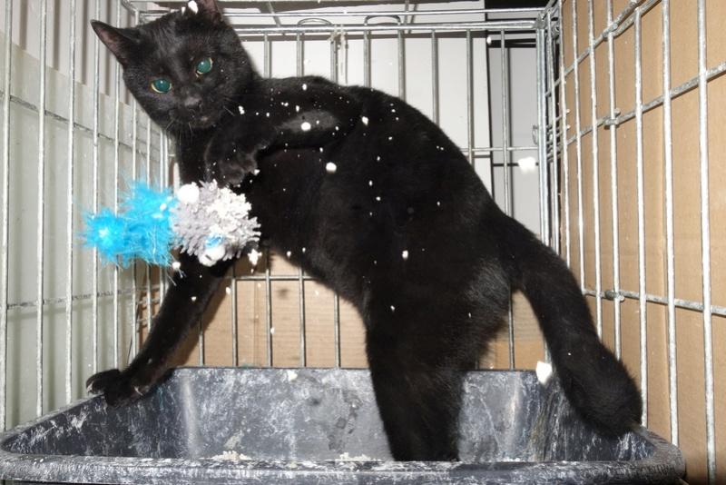 SERENA (Gato Nero) - chat femelle née en juin 2016 - CARMINA BUCAREST.  Réservée adoption via une autre asso Serser10