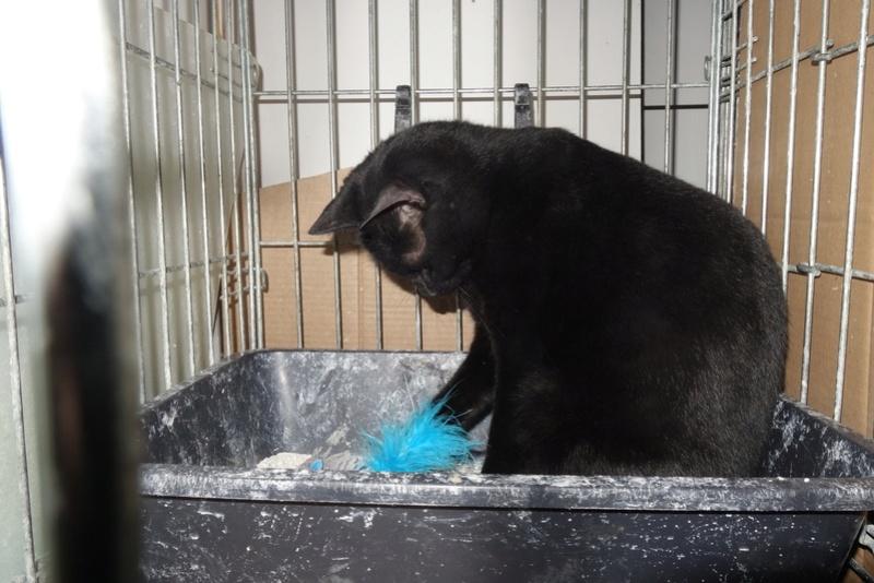 SERENA (Gato Nero) - chat femelle née en juin 2016 - CARMINA BUCAREST.  Réservée adoption via une autre asso Sese10