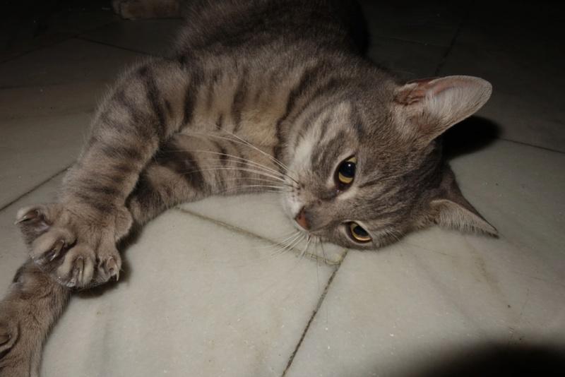 TIGRETTE - chat femelle, née début 2016 - CARMINA BUCAREST. Adoptée via une autre asso Tig10