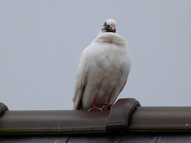 pigeon ramier blanc ???? P1180910