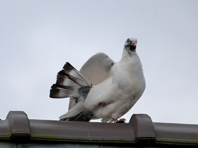 pigeon ramier blanc ???? P1190010