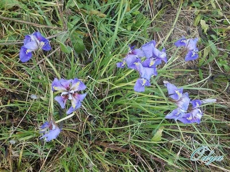 Iris unguicularis ou Iris d'Alger - Page 3 00029_10