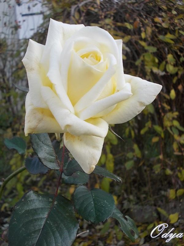 Roses de nos jardins 000_0315