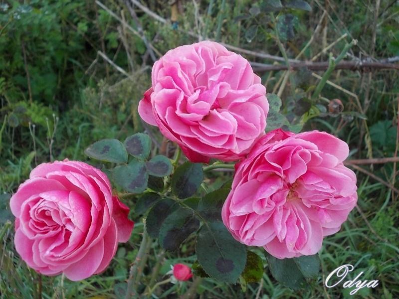 Roses de nos jardins 000_0317