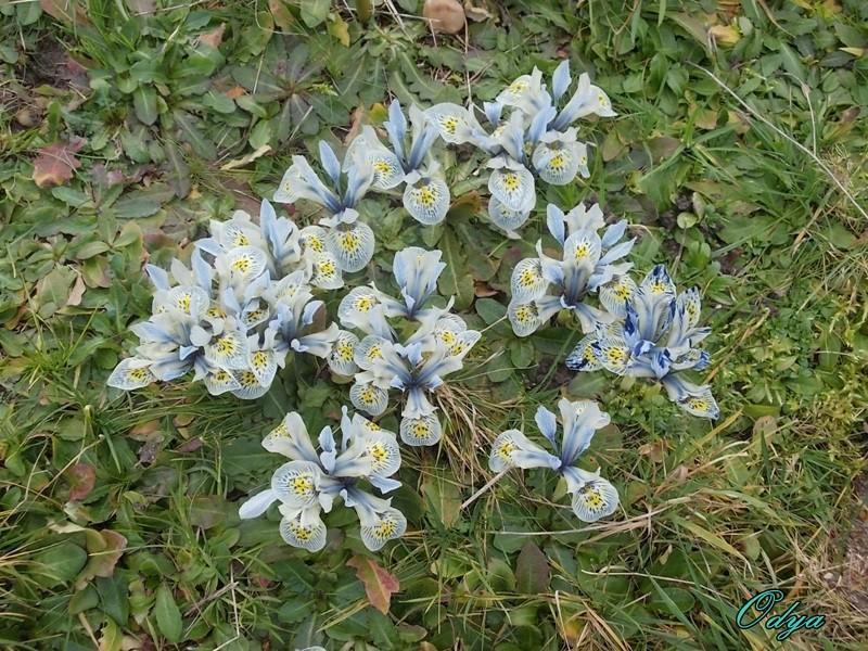 Iris reticulata - Page 4 000_0612