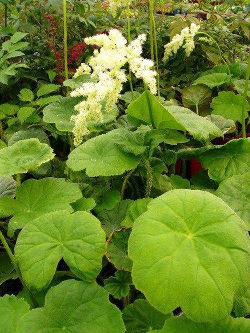 Astilboides tabularis Astilb10