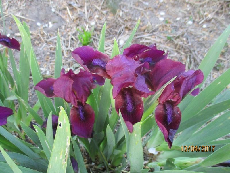 Floraison d'iris 2017 - 2018 - 2019 Fleurs36