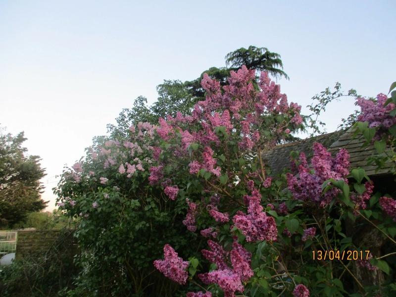 Lilas - Page 11 Fleurs56