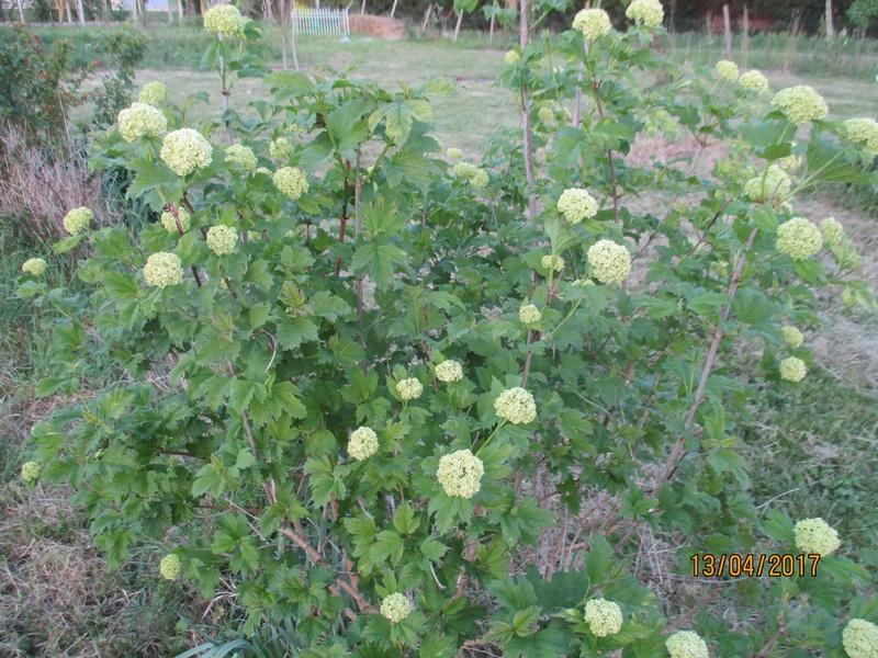 Viburnum opulus, Viorne obier, Boule de neige - Page 5 Fleurs61