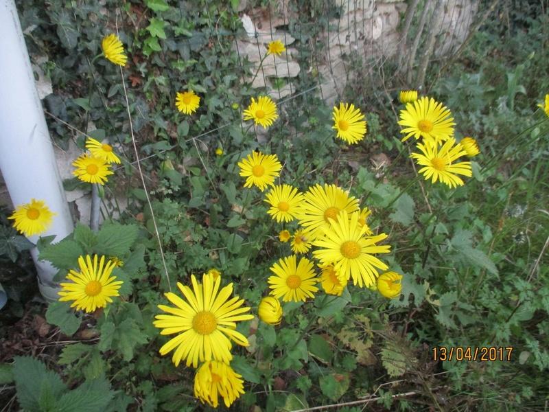 Doronic du Caucase  - Page 2 Fleurs71