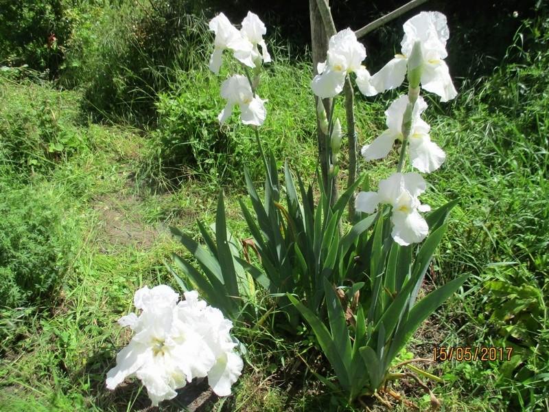 Floraison d'iris 2017 - 2018 - 2019 - Page 4 Fleurs89