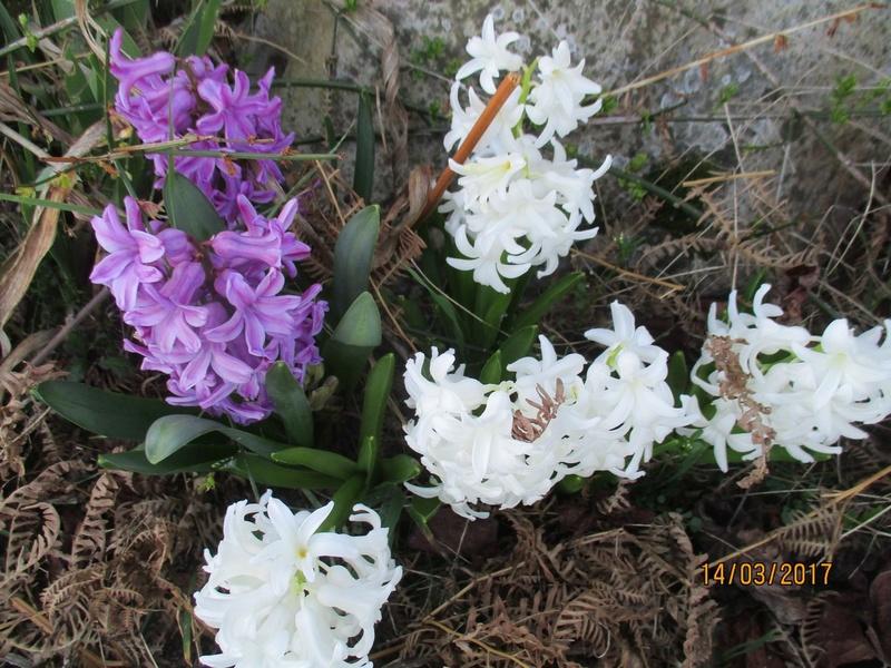 Jacinthe , Hyacinthus - Page 8 Img_3144