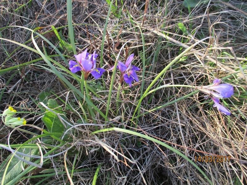 Iris unguicularis ou Iris d'Alger - Page 5 Img_3157