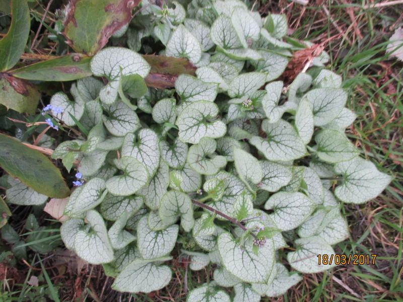 brunnera macrophylla ou myosotis du caucase - Page 2 Img_3214