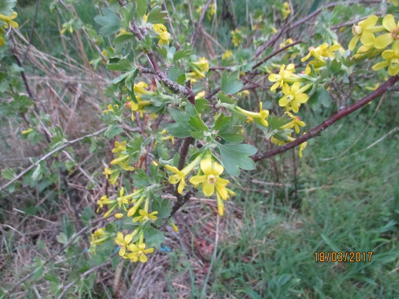 Groseiller a fleurs (Ribes sanguineum) - Page 3 Img_3242