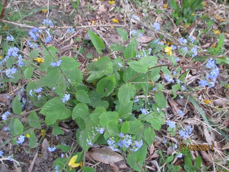 brunnera macrophylla ou myosotis du caucase - Page 2 Img_3260