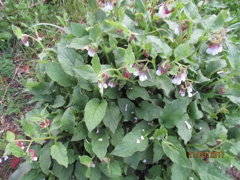 Symphytum grandiflorum Hidcote Pink (consoude) Img_3262