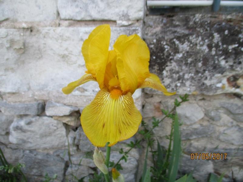 Floraison d'iris 2017 - 2018 - 2019 /2020 - Page 2 Img_3942