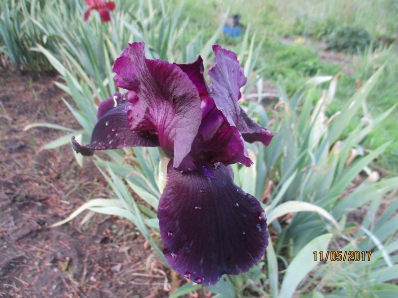 Floraison d'iris 2017 - 2018 - 2019 - Page 4 Img_4110