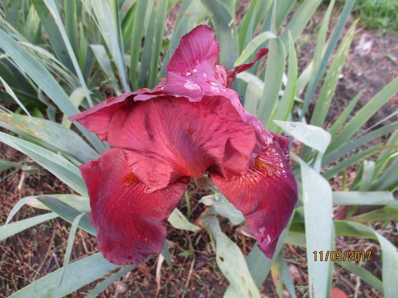 Floraison d'iris 2017 - 2018 - 2019 - Page 4 Img_4114