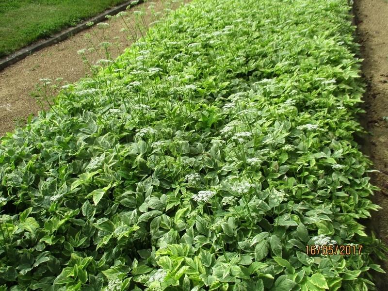 L'Aegopodium podagraria 'Variegata' ou herbe aux goutteux  Parc_340