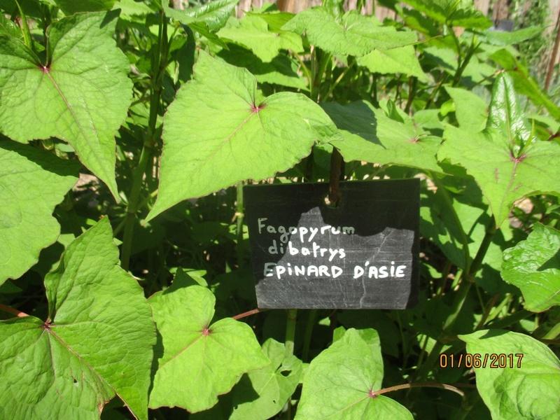 Fagopyrum ou épinard d'Asie  Terra623