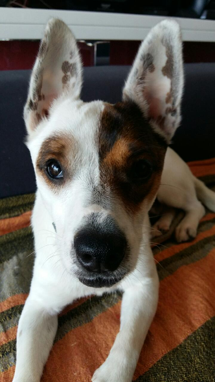 LOULOU, X Jack Russel Loulou14