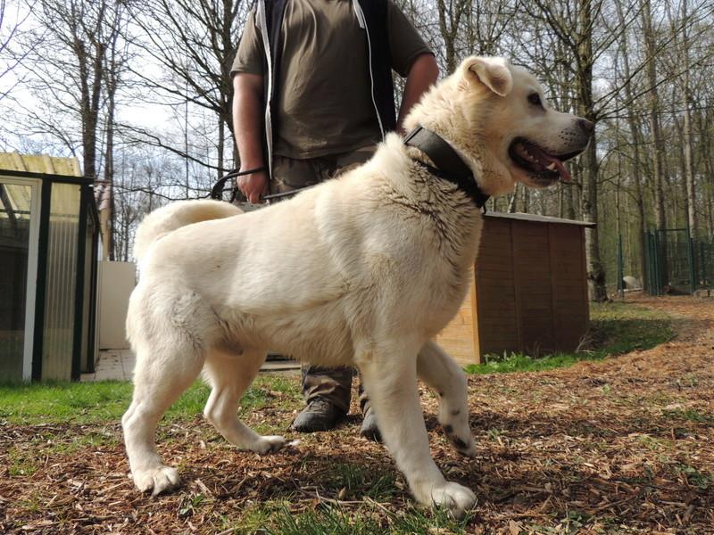 SAM labrador blanc. Mercre25