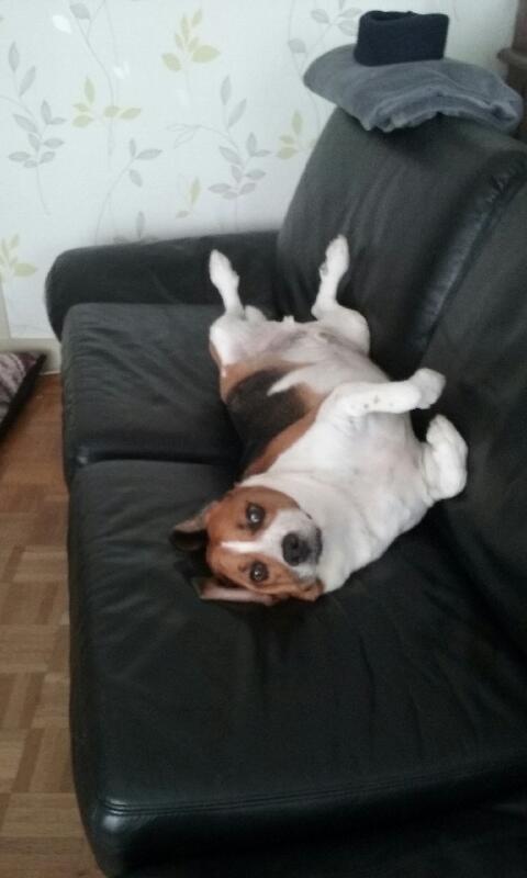 Nouvelles de FILOU le beagle- adopté en juillet 2016. - Page 2 Samedi51