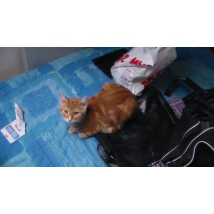 Perdu chaton roux de 6 mois... 10689210