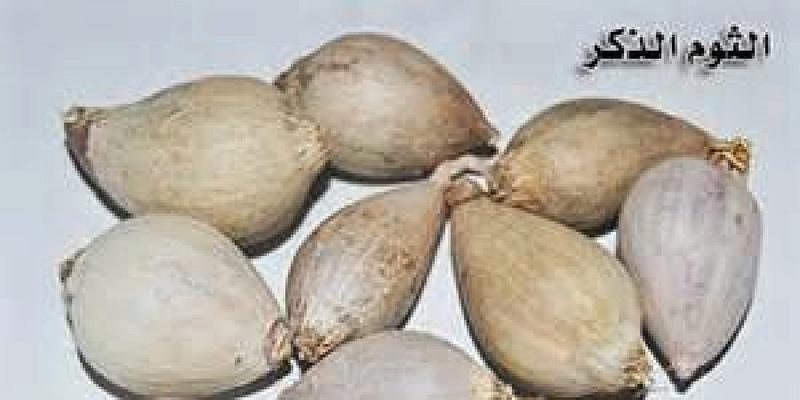 فوائد الثوم الذكر Male Garlic 77777712